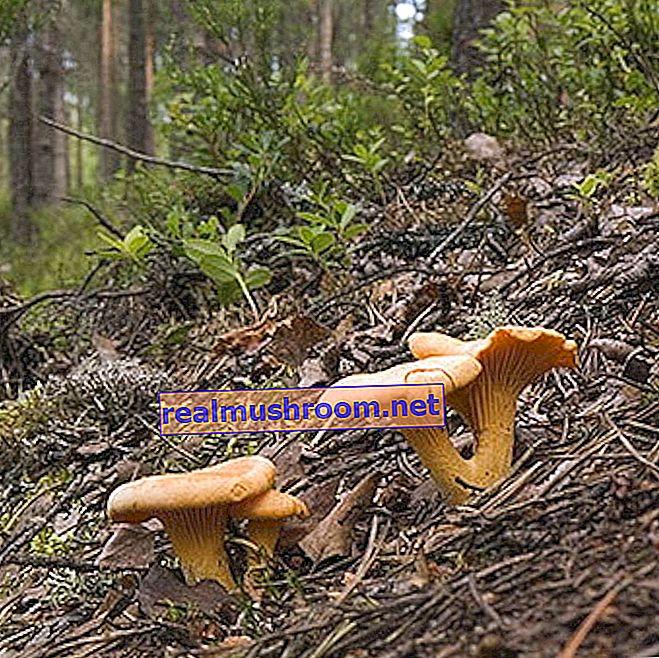 Wo Pfifferlinge wachsen: Fotos, die meisten Pilzwälder